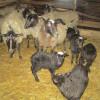 Романовские овцы, разведение и выращивание