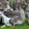 Как заработать на выращивании гусей