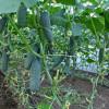 Бизнес-план: Выращивание огурцов в теплице.