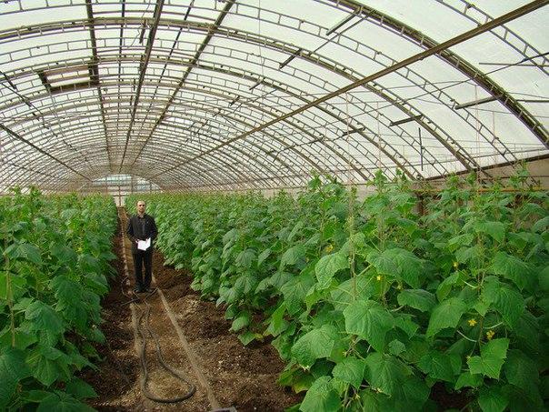 Выращивание овощей в теплицах как бизнес 54